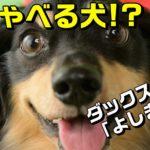 しゃべる犬! ミニチュアダックスフンドの「よしまる」自己紹介!