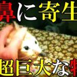 【衝撃】猫の鼻からハエの幼虫が取り出される動画が話題に! 動物実験の悲惨な実態など5選(症状,種類,現状,画像)[令和TV闇ニュース]
